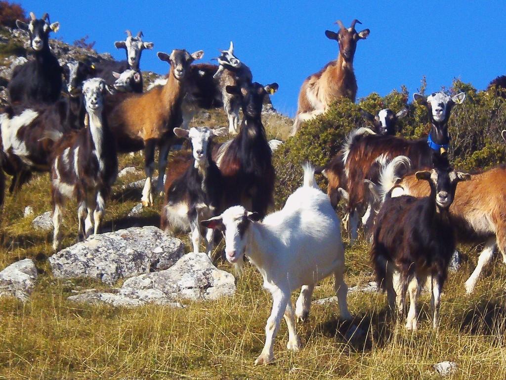 Troupeau de chèvres au Soum de Pène ( Arcizans-Dessus )
