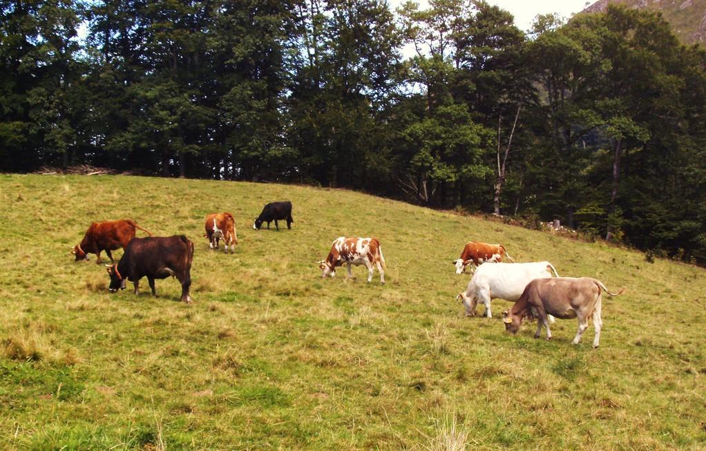 Vaches de toutes races ( Col des Bordères - Estaing )