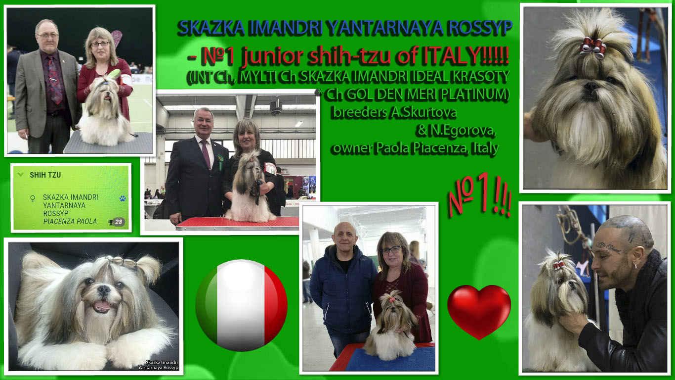 CHj ITALY Skazka Imandri YANTARNAYA ROSSYP'- 1 shih tzu in the ranking of juniors ITALY