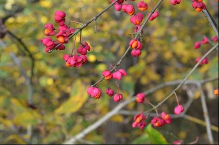 Früchte eines Pfaffenhütchens - Foto: Achim Thömmes
