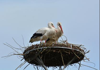 Bereits im ersten Frühjahr nach Aufstellen des Nestes brütete das erste Storchenpaar - Foto: Maria Schmutte