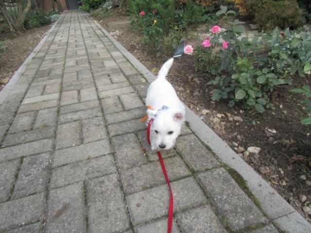 Charlott übt an der Leine zu laufen