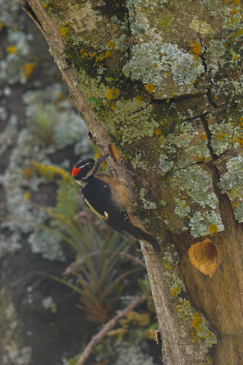 Hairy Woodpecker (Picoides villosus) | Costa Rica