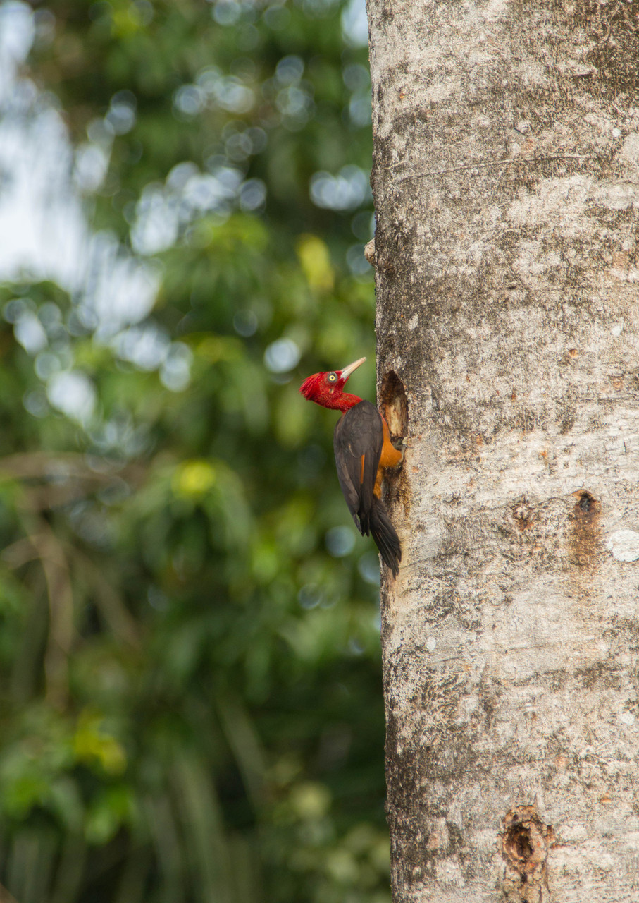 Red - Necked Woodpecker (Campephilus rubricollis) | Suriname