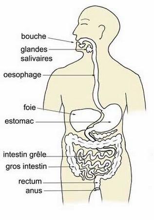 les differentes etapes de la digestion