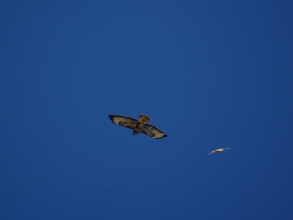 Re aie, aie, aie !  (buse variable,  faucon crécerelle)