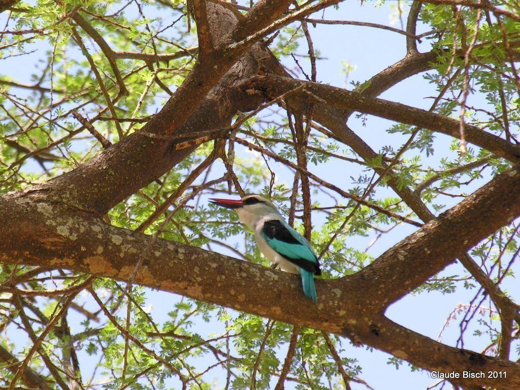 Martin chasseur. Tarangiré, Tanzanie