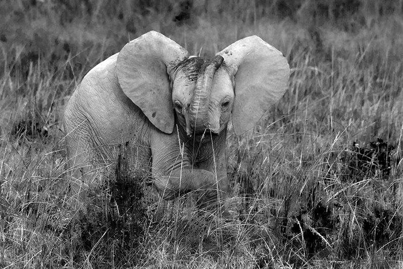 Petit, mais déjà impressionnant! Eléphant d'Afrique