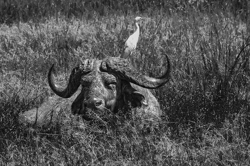 Tentative de commensalisme. Héron garde bœufs et buffle de Caffrerie