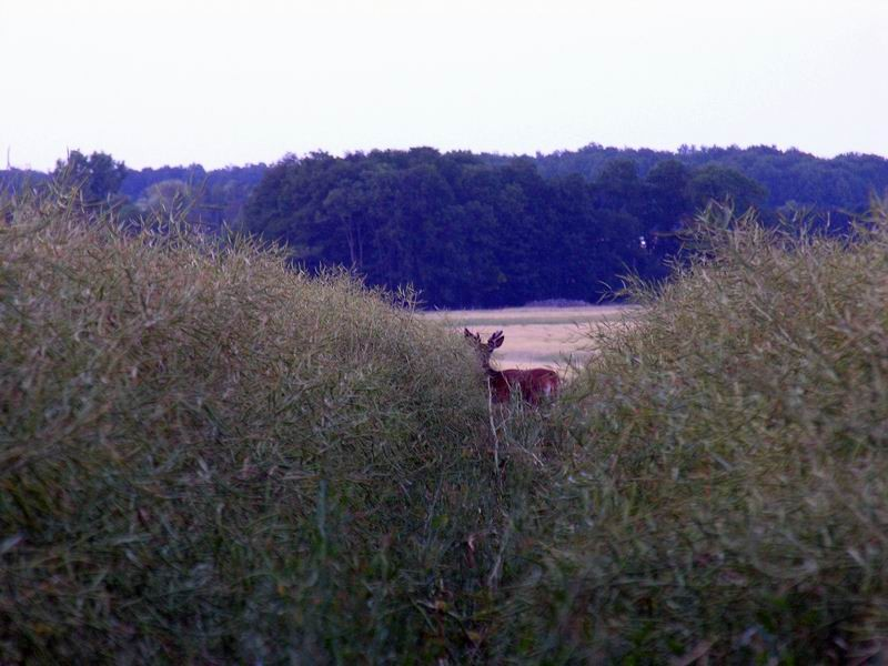 Jeune cerf dans les colzas, Bois Dieu, Hermeray, Yvelines