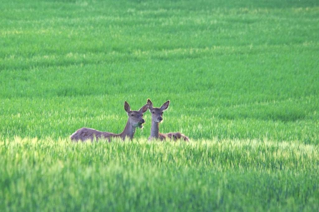 Duo dans les blés