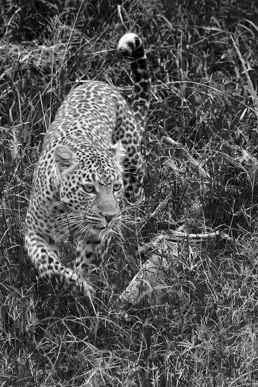 La grande quête. Panthère de Masaï Mara