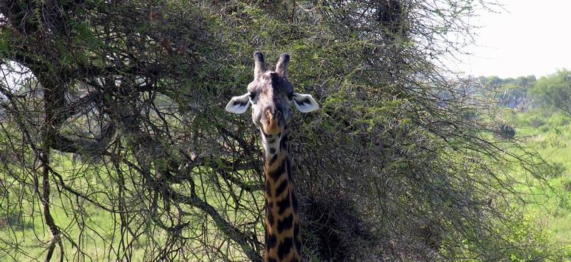 Massaï girafe, Tarangiré, Tanzanie