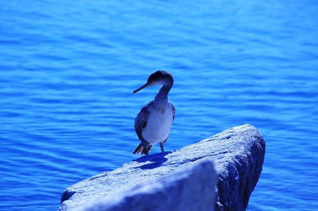 Bleu cormoran