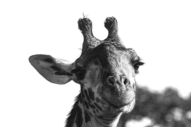Je sais, j'ai de beaux yeux. Girafe Masaï