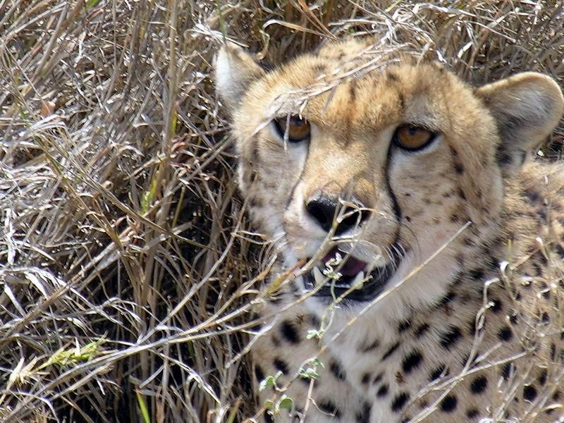 Guépard, Serengetti, Tanzanie