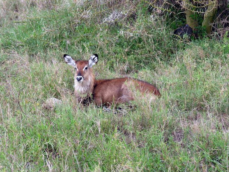 Cobe Defassa, Serengetti, Tanzanie