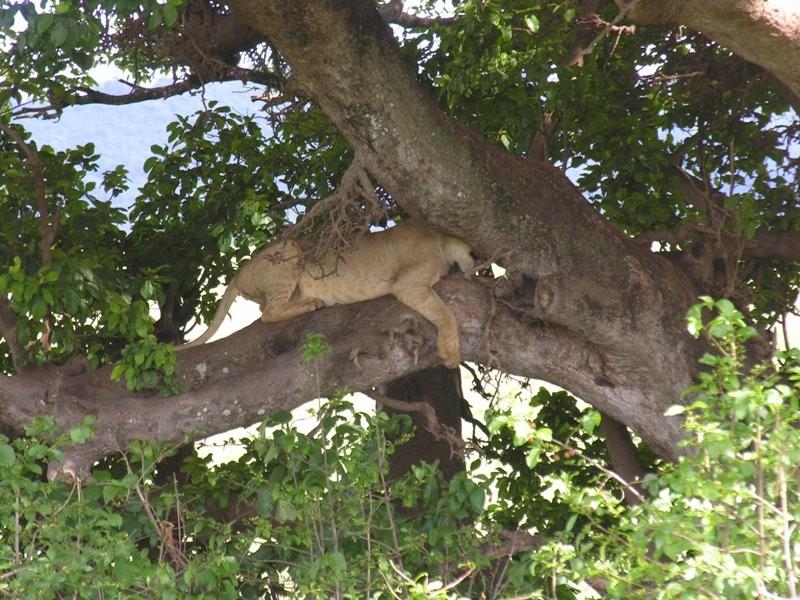 Le problème, ce n'est pas tant de grimper que de trouver l'arbre ...