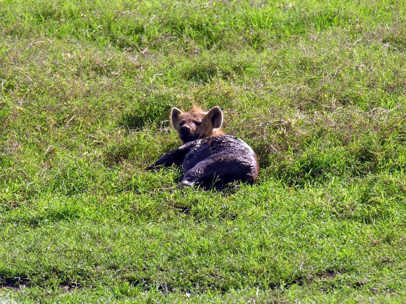 Hyène rieuse, N'gorongoro Crater, Tanzanie