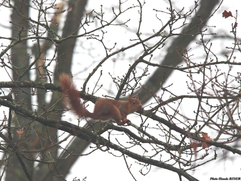 L'équilibriste. Ecureuil roux