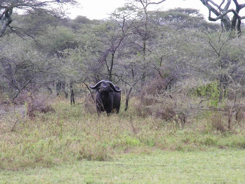 Buffle sous la pluie,Serengetti, Tanzanie