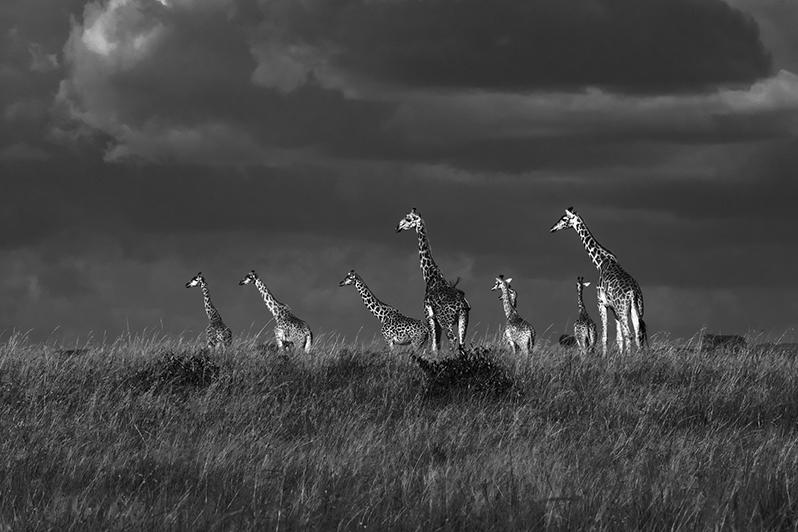 L'orage menace. Girafes masaï
