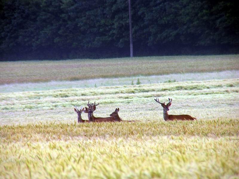 Cerfs dans le blé, Chaumont, Hermeray, Yvelines