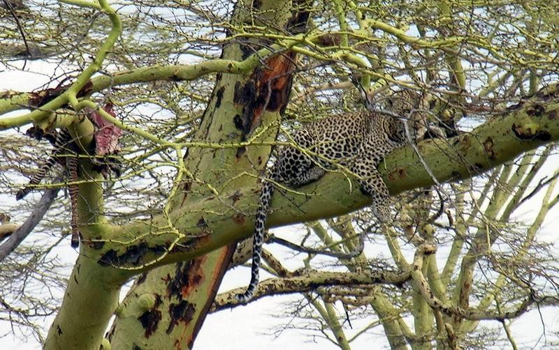 Léopard, Serengetti, Tanzanie