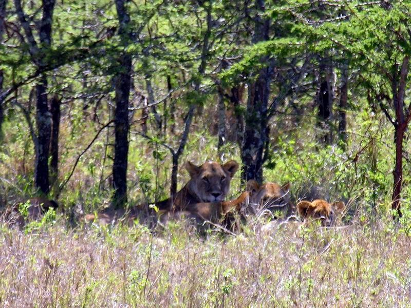 Lionnes, Serengetti, Tanzanie