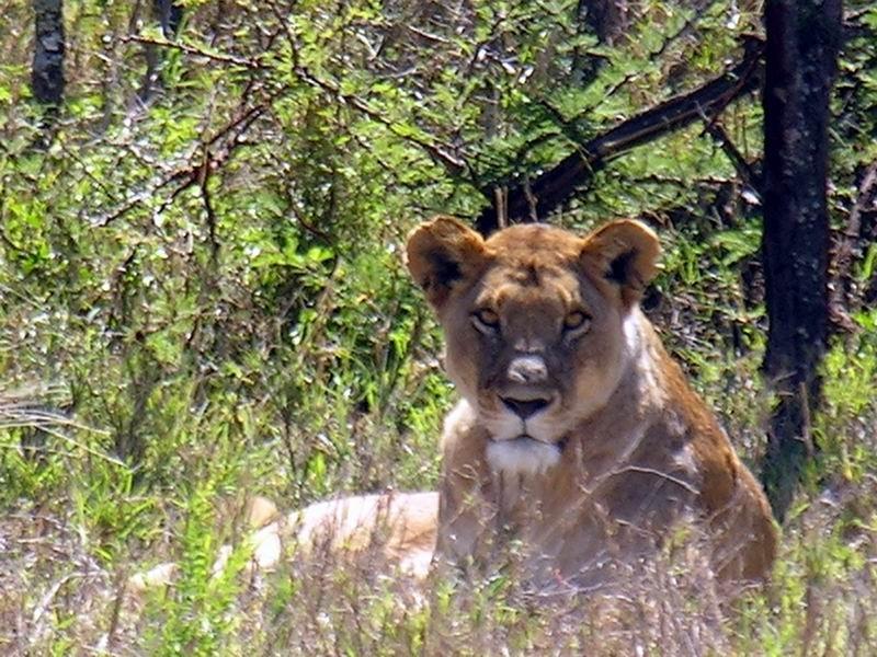 Lionne, Serengetti, Tanzanie