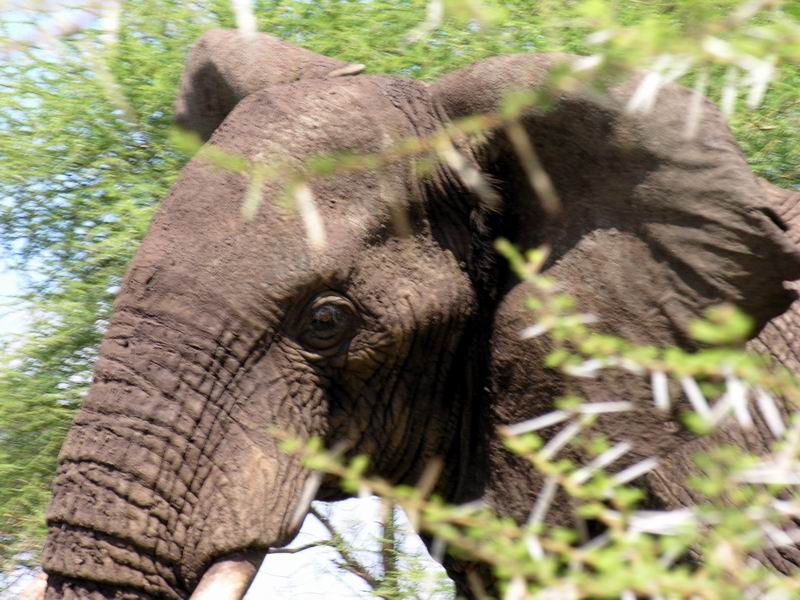 Eléphant, Tarangiré, Tanzanie