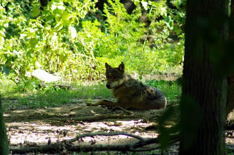 Loup, Thoiry, Yvelines