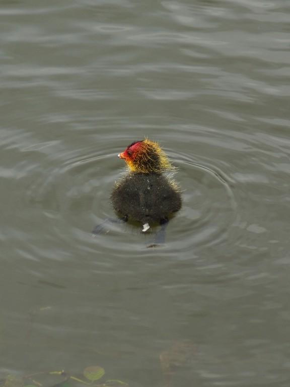 Poussin de foulque macroule, Guiperreux. Premier pet dans l'eau.
