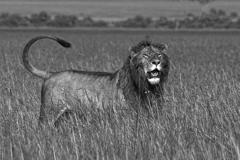 Le roi de la savane. Lion de Masaï Mara