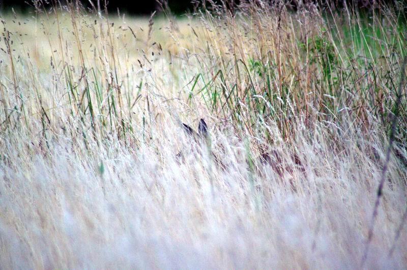Chevrette à 8 mètres, dans les herbes, Les Chaises, Raizeux, Yvelines