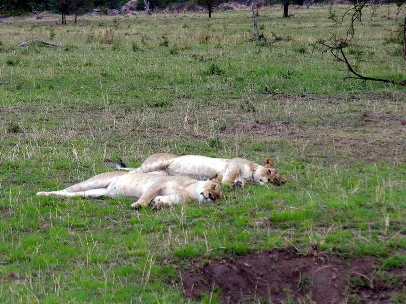 Jeunes lions à Lobo, Serengetti, Tanzanie
