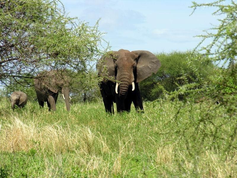 Eléphants, Tarangiré, Tanzanie
