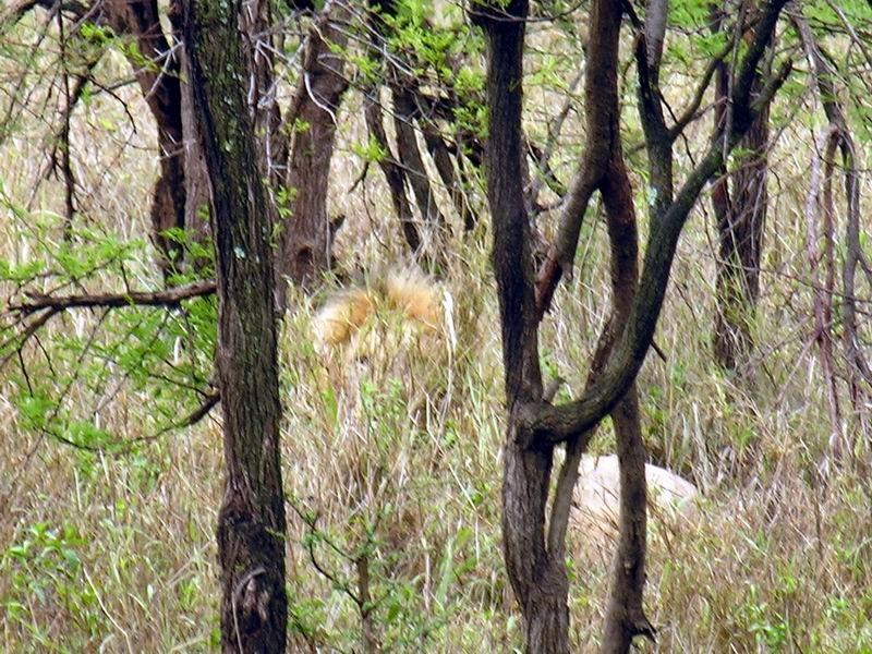 Lion dans le fourré, Serengetti, Tanzanie