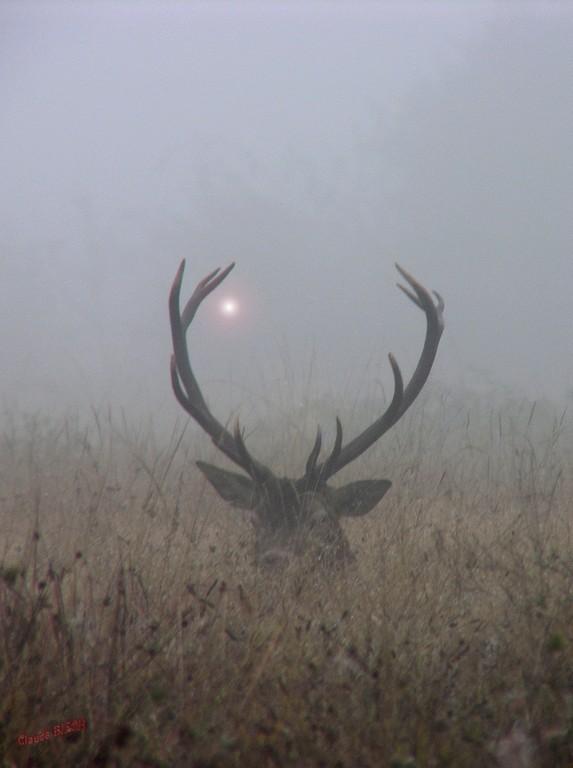 Cerf dans la brume, VANDOEUVRE, Brenne