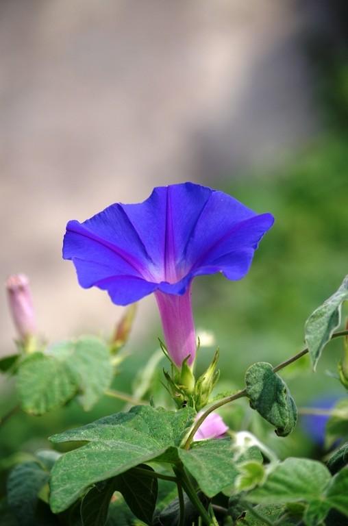 Bleu Ipomée