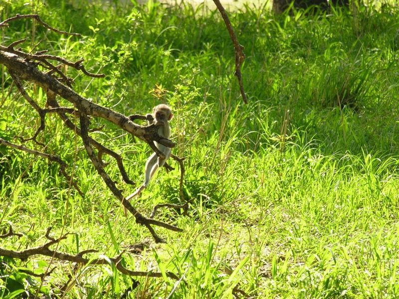 Bébé grivet, Serengetti, Tanzanie