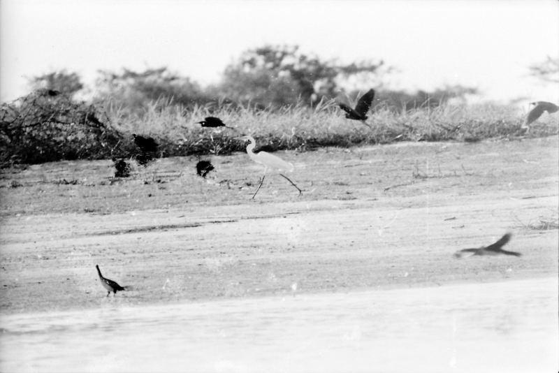"""""""Ile aux oiseaux"""" sur le Bani. Hérons divers et aningas"""