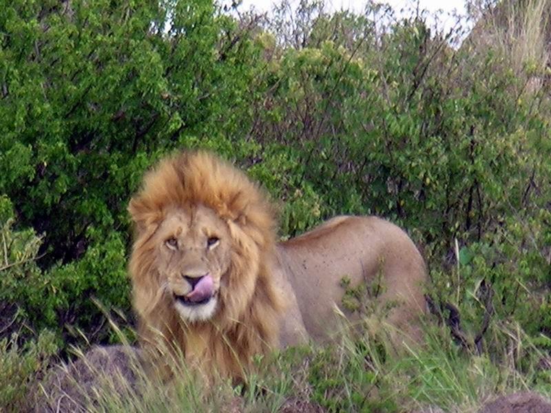 Lion, Serengetti, Tanzanie