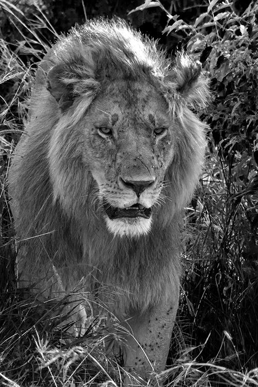 Le cadet du roi. Lion de Masaï Mara