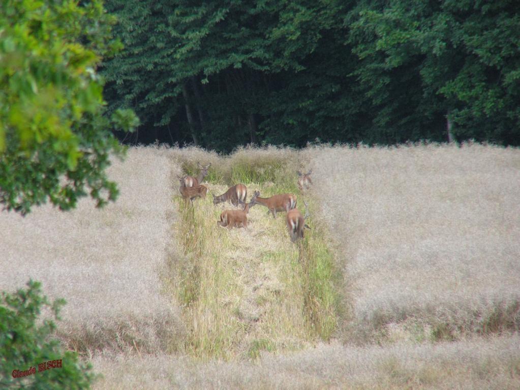 Cerfs et Biches dans le colza, Le Gland, RAIZEUX