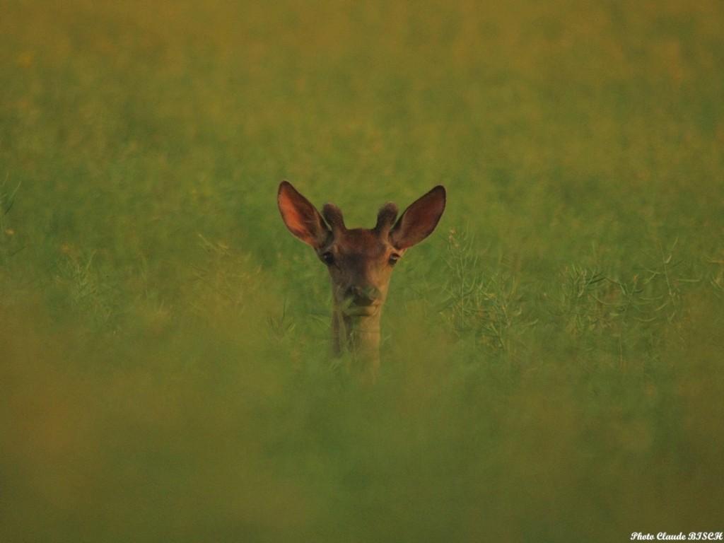 Le girafon. Cerf élaphe