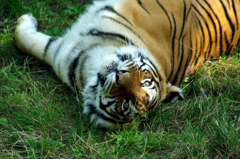 Tigre, Thoiry, Yvelines