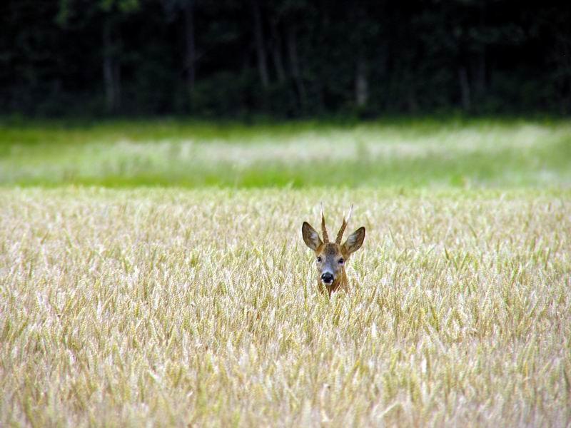 Chevreuil dans le blé, Les hautes Gueules, Raizeux, Yvelines