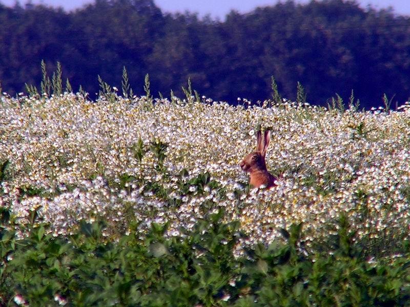 Lièvre dans la camomille, Le Gland, Raizeux, Yvelines