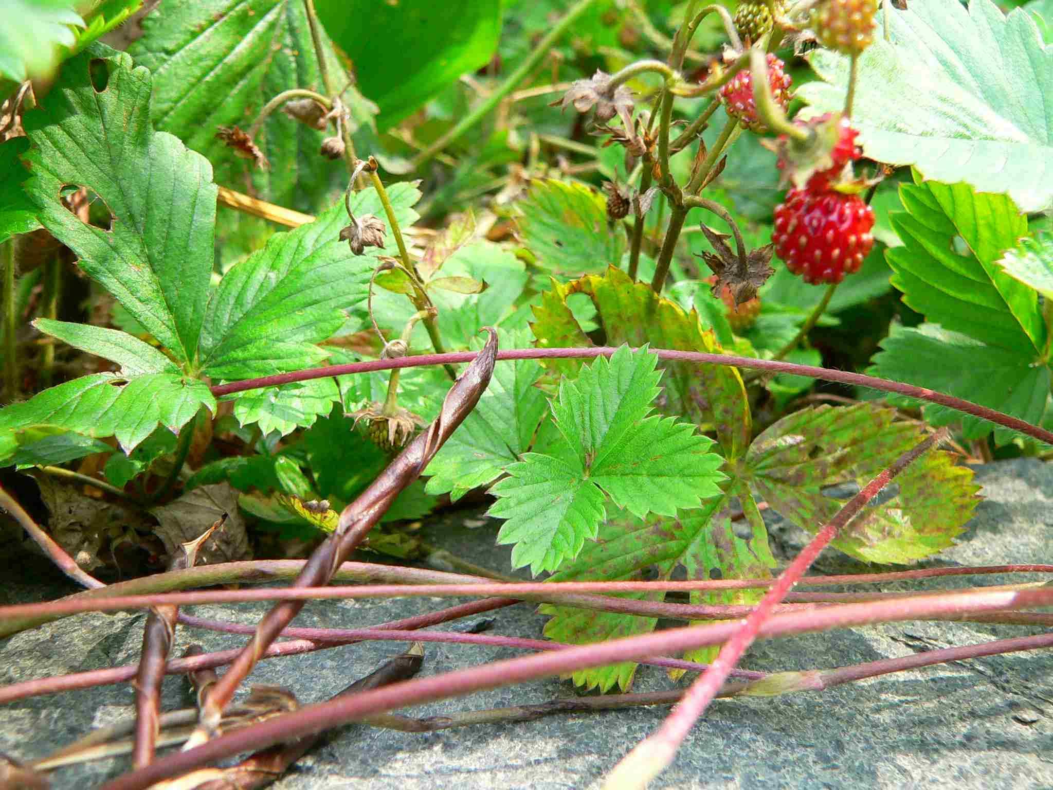 Wald-Erdbeere, bildet oberirdische Ausläufer | copyright Britta Jessen